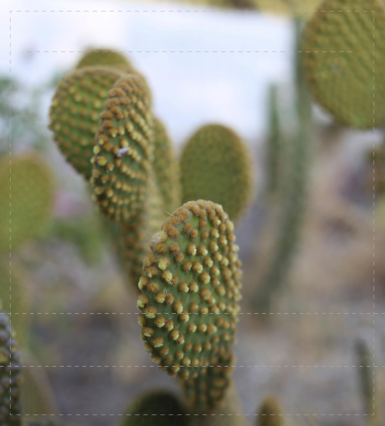 Kaktus (mittel)