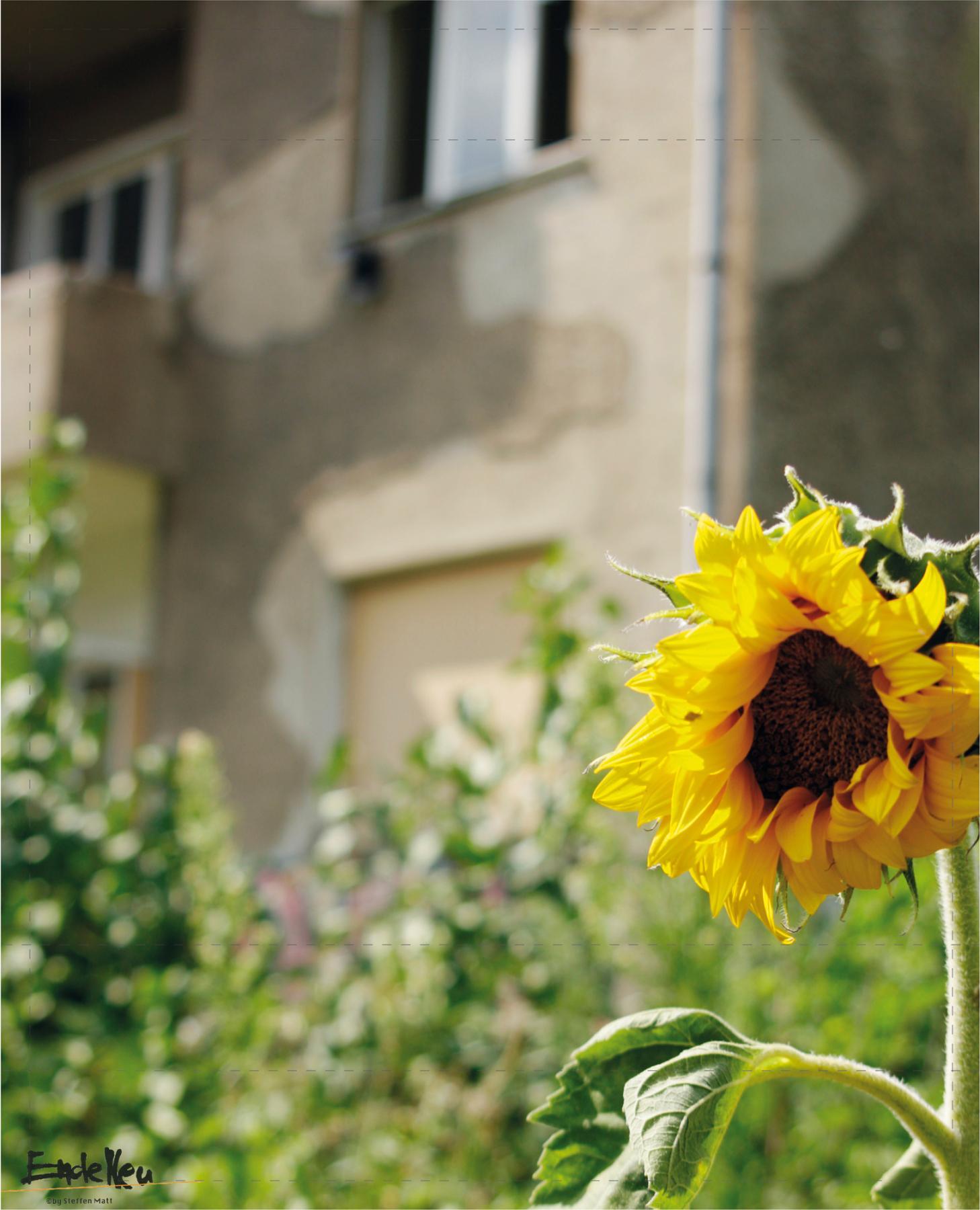 Sonnenblume Matt (groß)
